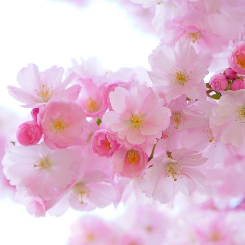 japanese-cherry-trees-324175_1920új.jpg