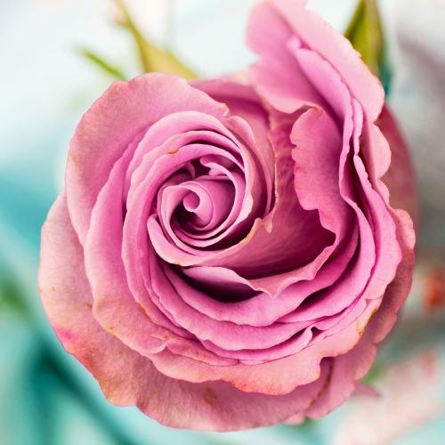 rose-3142529_1920 (1)új.jpg