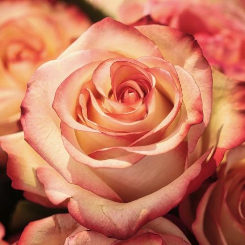 rose-3189198_1920új.jpg