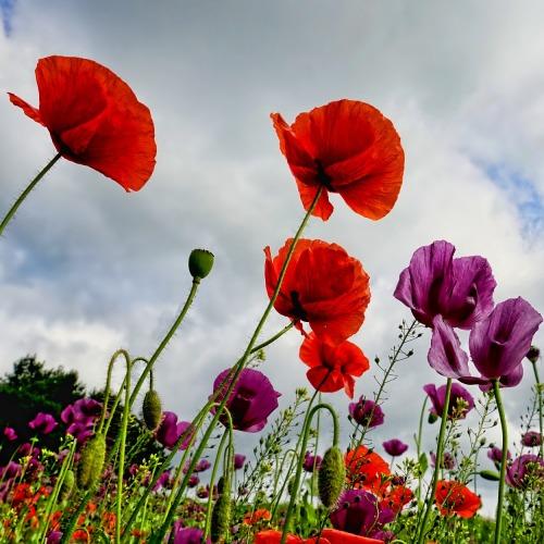 poppies-3409873_1920 (1)új.jpg