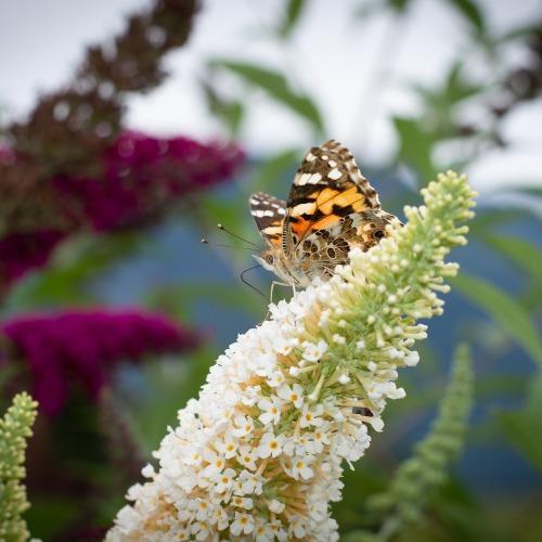 butterfly-4414113_1920ÚJ.jpg