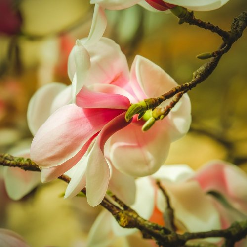 magnolia-4825287_1920új.jpg