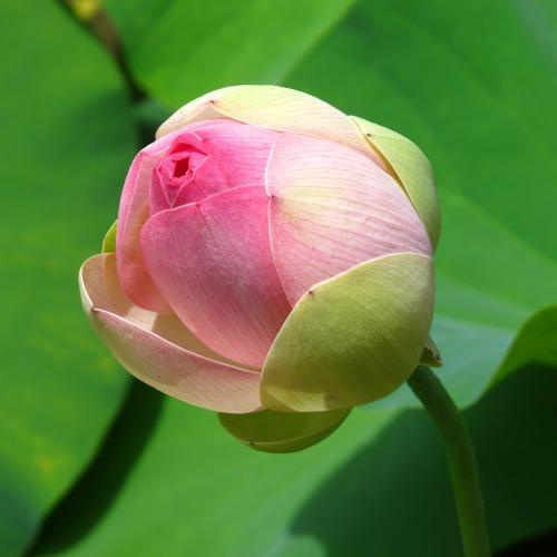 water-lotus-1364465_1920új.jpg