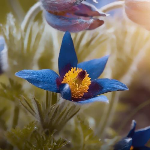 anemone-4196064_1920új.jpg