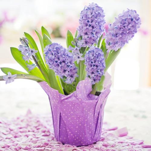 hyacinth-4110726_1920új.jpg