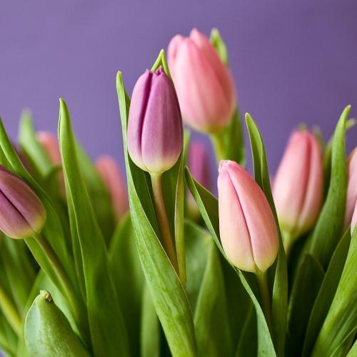 tulips-320151_1280 (1)új.jpg