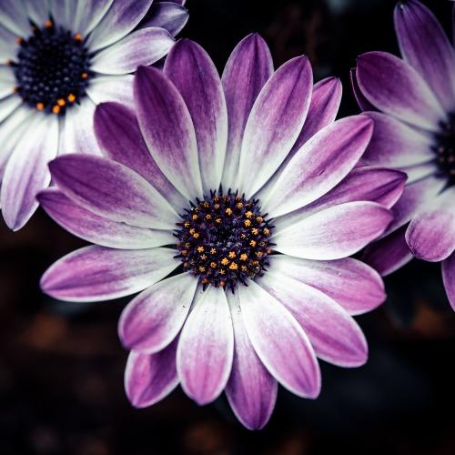 cape-daisies-4220961_1920ÚJ.jpg