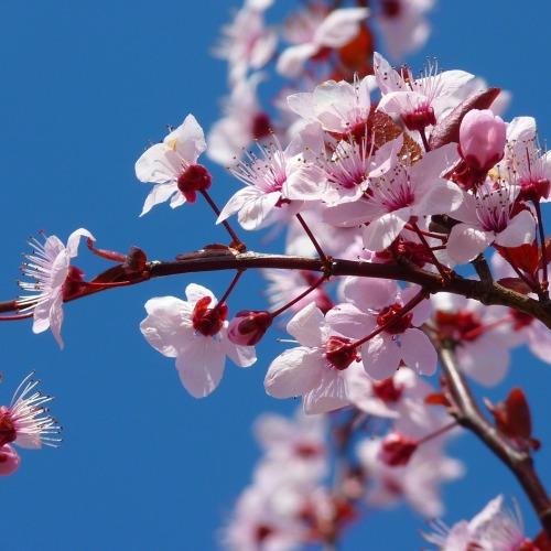 almond-blossom-5378_1280 új.jpg