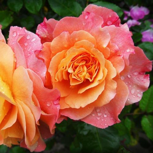 rose-174817_1920új.jpg