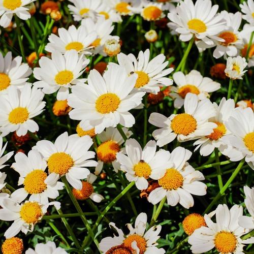 daisies-3465556_1920új.jpg