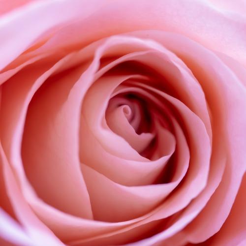 rose-4062088_1920új.jpg